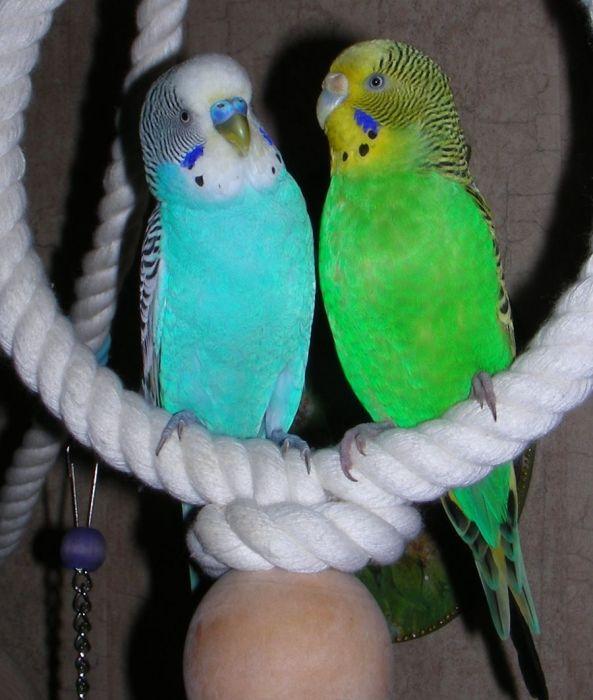 Смотреть видео про волнистых попугаев